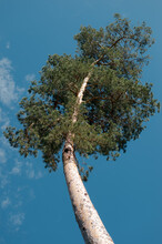 Single Curved Pine Tree