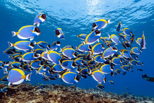 School Of Powderblue Sugeonfish