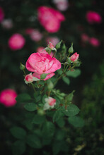 Bright Fluo Pink Rose Blossoming