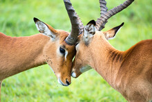 Impala Family On A Grass Lands...