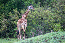 A Giraffe Is Running Among The Trees And Bushes