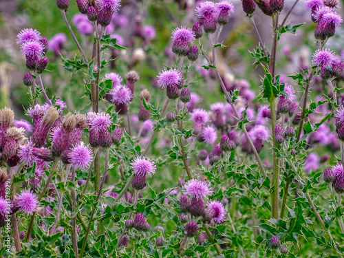 Purple heads of thistles in fields and meadow land near Malham Fototapet