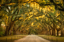 Live Oaks And Spanish Moss Along A Dirt Road