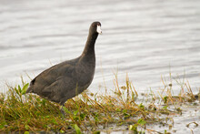 An American Coot Walking Along The Water's Edge