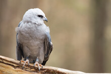 A Mississippi Kite Perched On A Branch