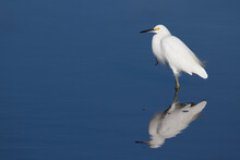 A Snowy Egret Wading In The Bl...