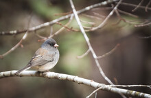 Dark-eyed Junco Perched In The...