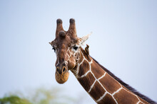 The Face Of A Giraffe In Close-up