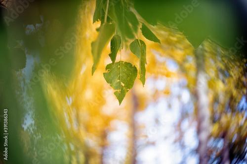 Wicker grown in the Natural Park of the Serrania de Cuenca. Cañamares. Castilla la Mancha. Spain