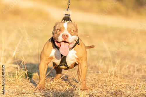Canvastavla Young american  bully