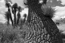 Detail Of A Ponytail Palm In T...