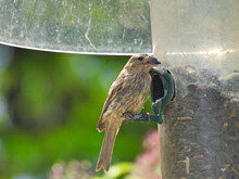 Finch On Bird Seed Feeder: Female House Finch Eats A Sunflower Seed From A Bird Seed Feeder With A Squirrel Baffler Attached
