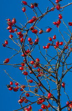 Vertical Low Angle Shot Of Rose Hips