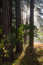 Yosemite Sunrise Trees