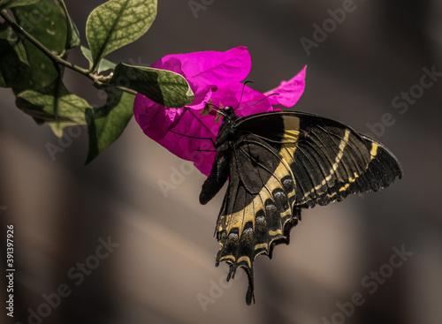 Fotografia, Obraz Closeup of a royal butterfly on a purple flower