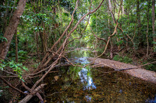 And Trees Near A River In The Forest  In Tropical North Queensland Australia