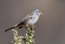 White Crowned Sparrow Clings To Top Of Vegetation Out On The Nature Trail Looking To Right.