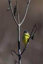 Cute Male Lesser Goldfinch Bir...