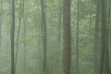 Mystical background of trees in the forest in the early morning fog