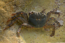Closeup Of The Crab Walking On...