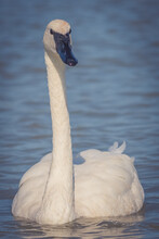 Vertical Closeup Shot Of Trumpeter Swan Swimming On A Lake