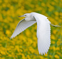 Selective Focus Shot Of A White Heron Flying In The Field