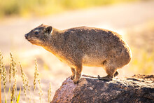 South African Brown Rock Dassie / Cape Hyrax, Standing On A Rock And Isolated.