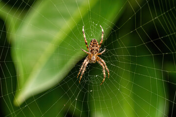 close up of a spider resting in the center of the web in front of big green leaves