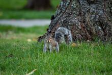 One Cute Grey Squirrel Sitting...