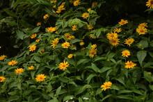 Beautiful Yellow Flower Coreopsis Grandiflora (Largeflower Tickseed)