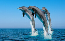 Dolphin Jumping In The Water