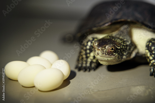 demale turtle reptile and eggs isolated
