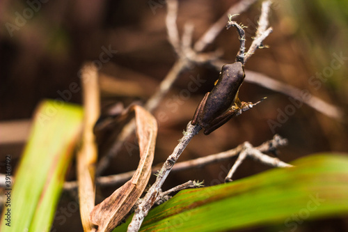 sedge frog Queensland Billede på lærred