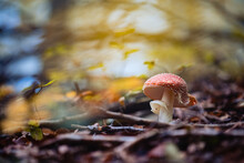 Red Fly Agaric Mushroom Grown In A Forest Surrounded With Golden Leaves And Branches