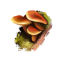 Lactarius Fragilis, Candy Cap Or Curry Milkcap Mushroom Closeup Digital Art Illustration. Fungus Family With Orange Caps. Mushrooming Season, Plant Of Gathering Plants Growing In Woods And Forests