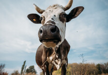 Black And White Cow Against Th...