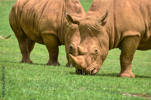 Fotografering rhino in the grass
