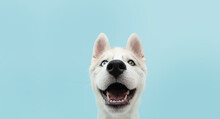 Close-up Husky Puppy Dog With ...