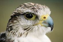 Close Up Of An Falcon