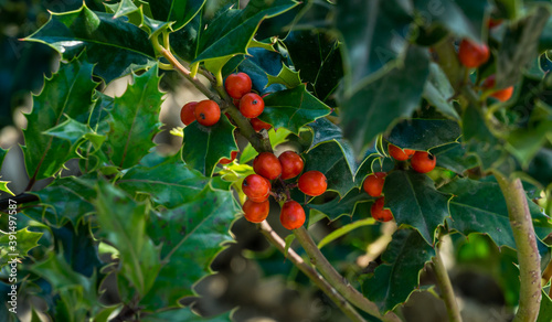 Christmas holly ilex aquifolium growing in public landscape park 'Krasnodar' or 'Galitsky park'. Graceful leaves with red berries are waiting for the New Year. Nature concept for design