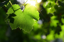 Grape Leaf In Backlight