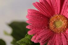 Pink Gerbera Flower Closeup Wi...