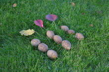 Walnuts On Grass