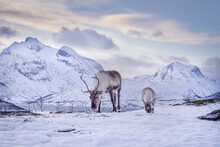 Two Reindeers With Antlers Eat...