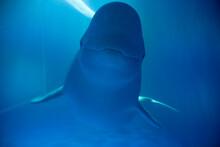 Beluga Whales In Captivity At ...