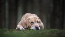 Pretty Yellow Labrador Retriev...