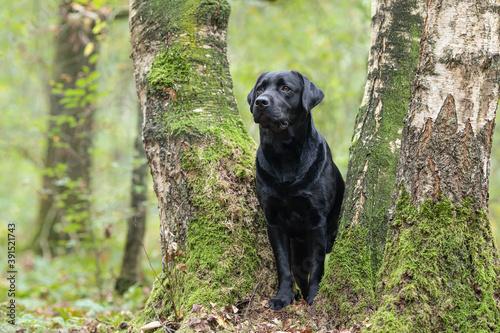 Fotografiet Pretty black labrador retriever standing between trees in a green forest