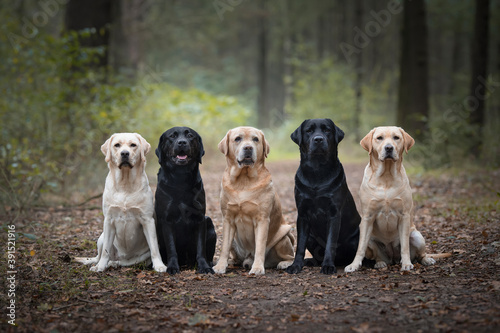 Canvastavla Group of five labrador retrievers looking at the camera sitting in a forest lane