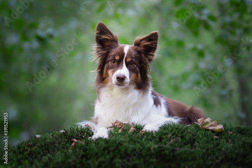 Cute miniature shepherd lying on moss with trees in the background looking at th Canvas