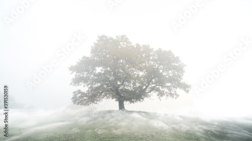 A mystic lonely tree standing on a hillside with rolling fog Fototapeta